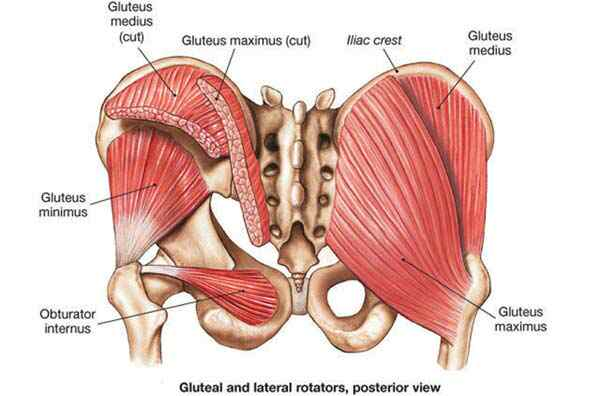 Glute Manual: Anatomy of the Glutes – shollythoughts